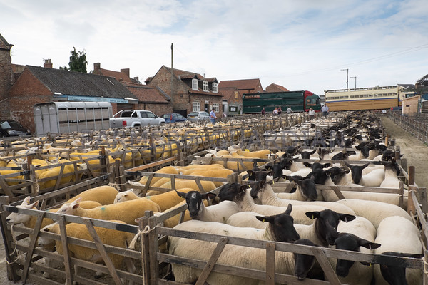 Malton market sheep sale July 2016