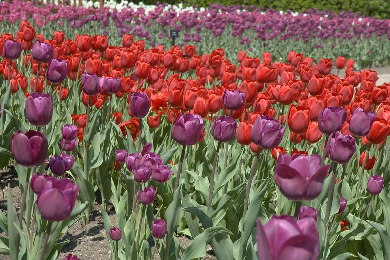 Tulip gardens.jpg