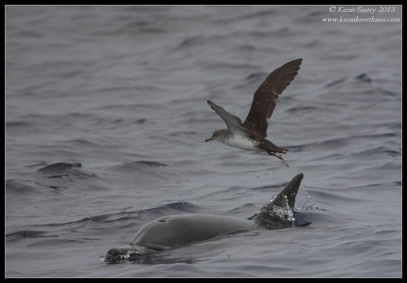 Black-vented Shearwater and common dolphin, Whale Watching trip, San Diego County, California, September 2013