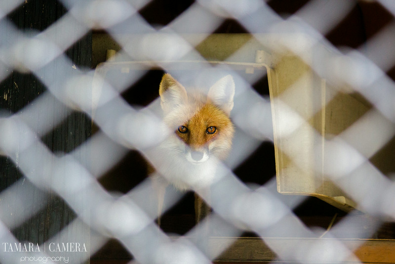 fox in the zoo