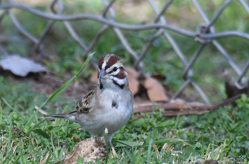 Lark Sparrow  - 2/11/2018 - Poway Creek