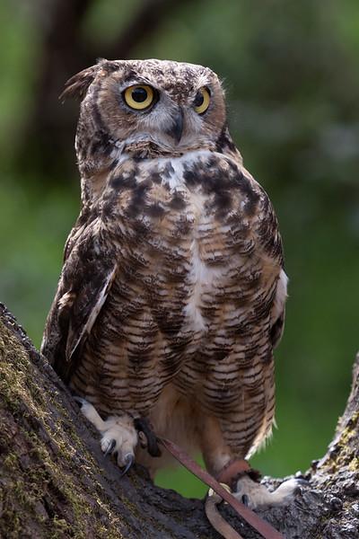 Great Horned Owl Hayward, California 1303S-GHO9
