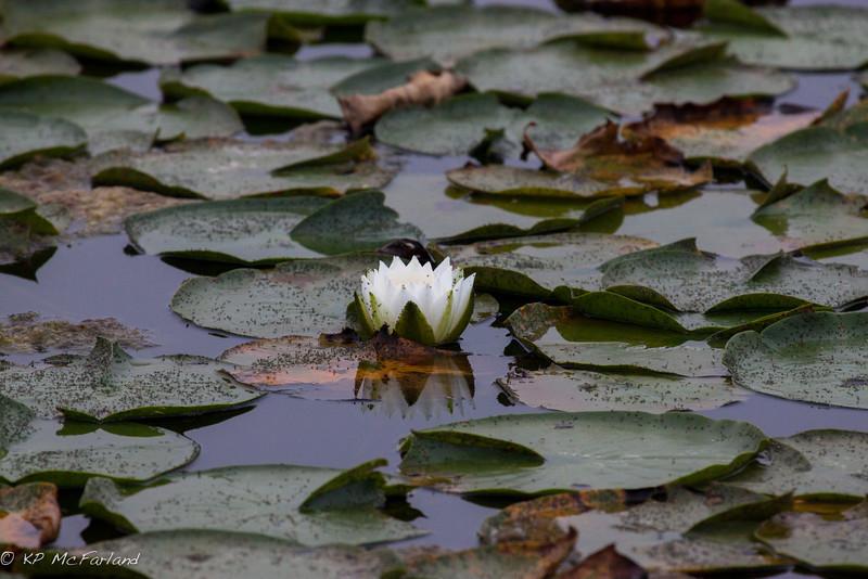 American white waterlily (Nymphaea odorata)