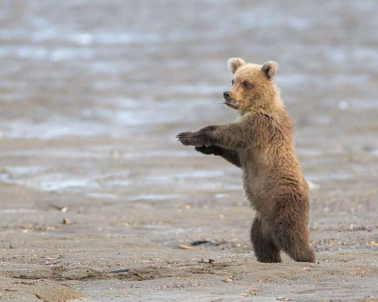 brown bear cub.jpg