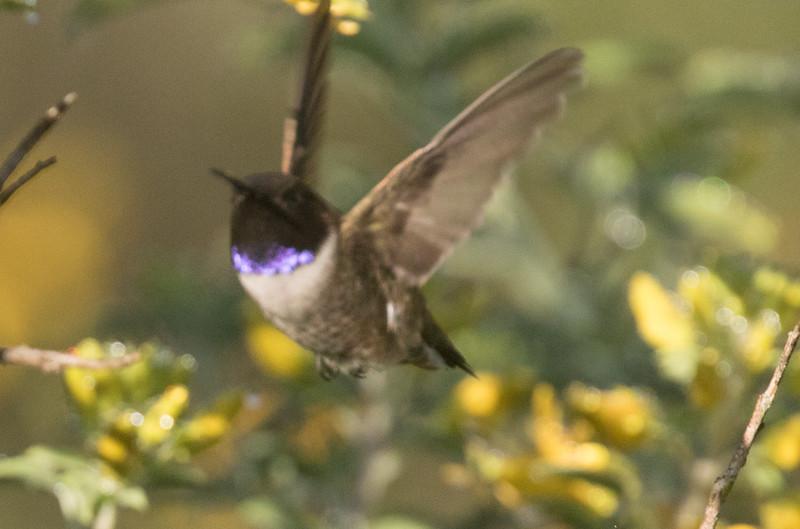 Black-chinned Hummingbird Penesquitos Canyon 2019 04 06-4.CR2