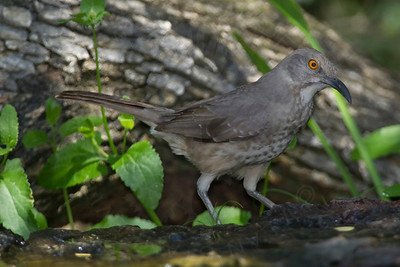 Thrasher, Curve-Billed
