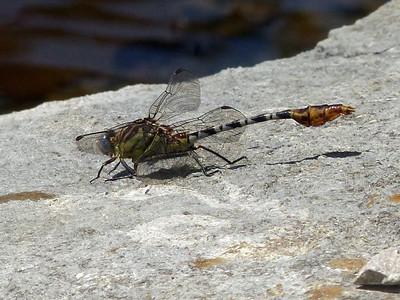 Flag-tailed Spinyleg (Dromogomphus spoliatus)