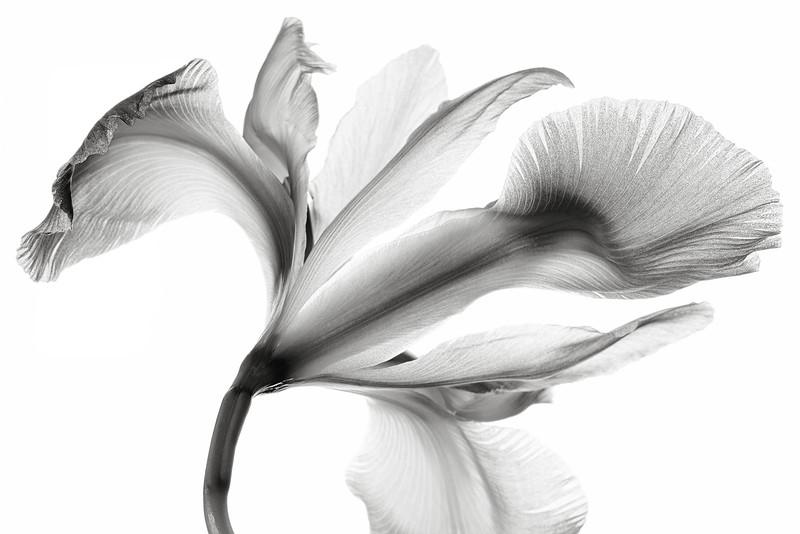 pale-iris-07bw.jpg