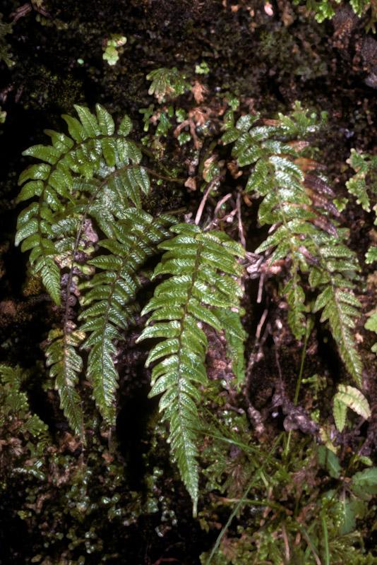 Pneumatopteris pendens