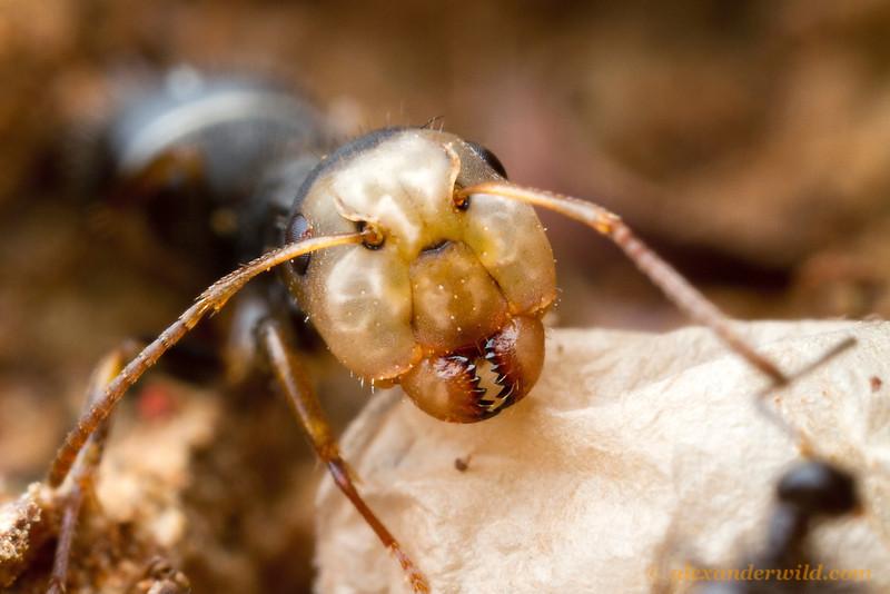 A Camponotus major worker.  Icononzo, Tolima, Colombia