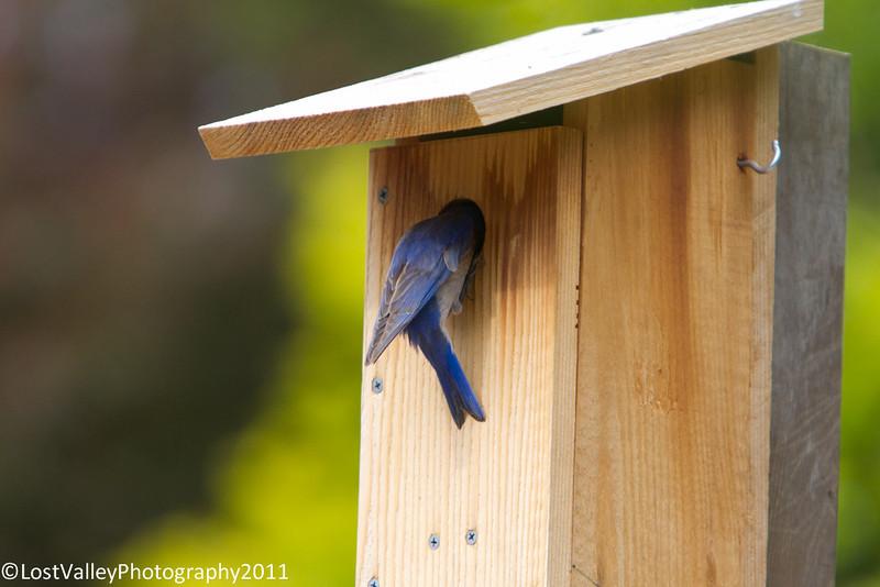 Bluebirs Nesting-1074.jpg