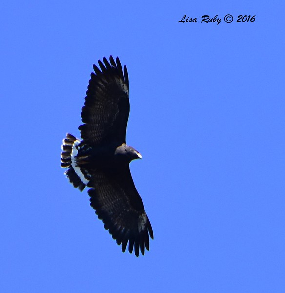 Common Black Hawk  - 4/18/2016 - Seven Springs Recreation Area, AZ