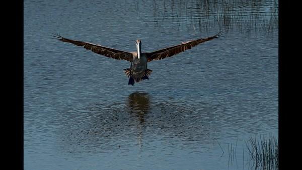Brown Pelican flying and landing
