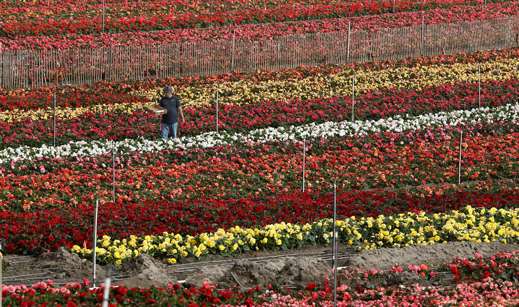 . A man is lost in a sea of reds and yellows in Marina on Saturday as he picks begonias for the upcoming Begonia Festival Nautical Parade. (Kevin Johnson -- Santa Cruz Sentinel)