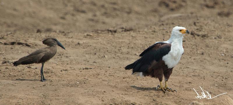 African Fish Eagles-5.jpg