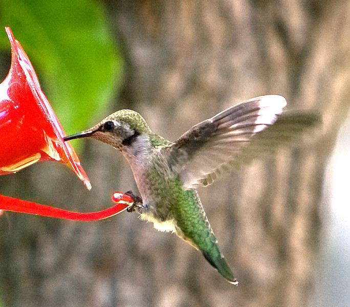 hummingbird_may.jpg