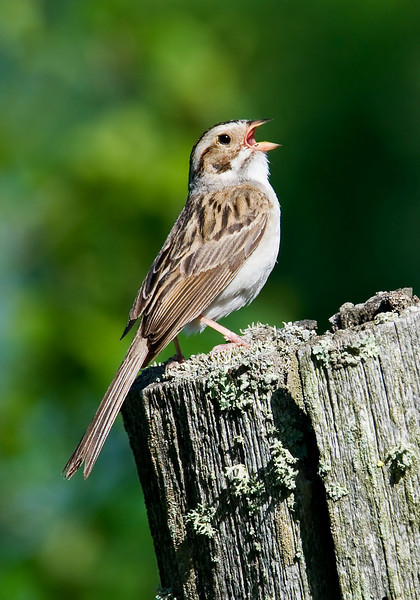 Sparrow - Clay-colored - Itasca County, MN - 01