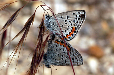 Undescribed Acmon-type Blue