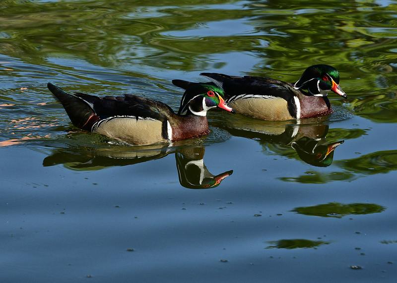 NEA_0657-7x5-Duck Reflection.jpg