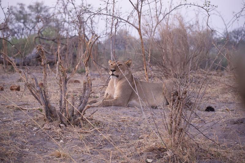 Lion resting, Selinda Explorer camp, Botswana