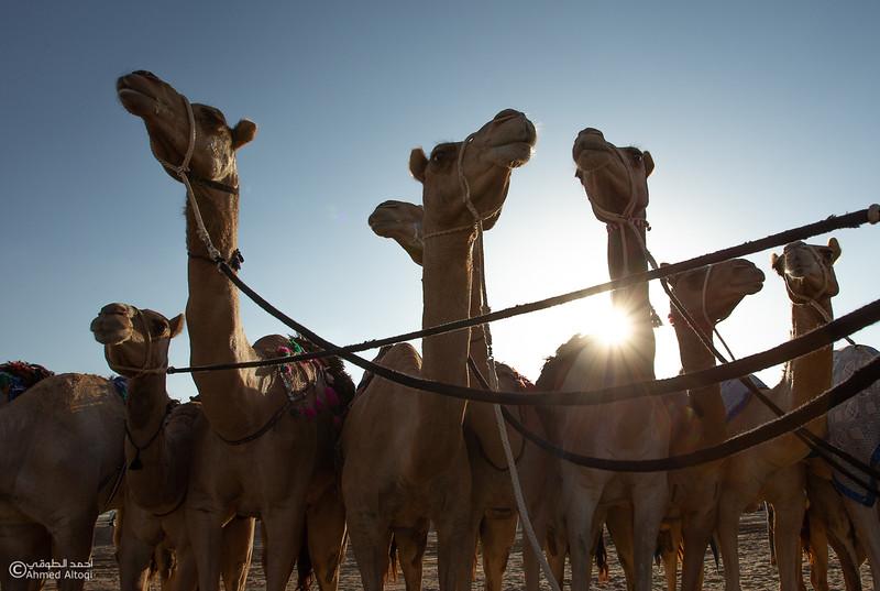 IMGL6389- Camel Race.jpg
