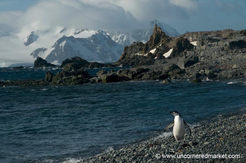 Chinstrap Penguin in the Sun - Antarctica