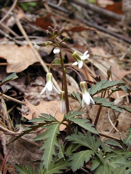 Cutleaf Toothwort blooming along Schoolhouse Gap Road