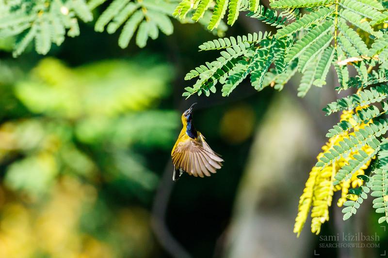 Olive-backed Sunbird.jpg
