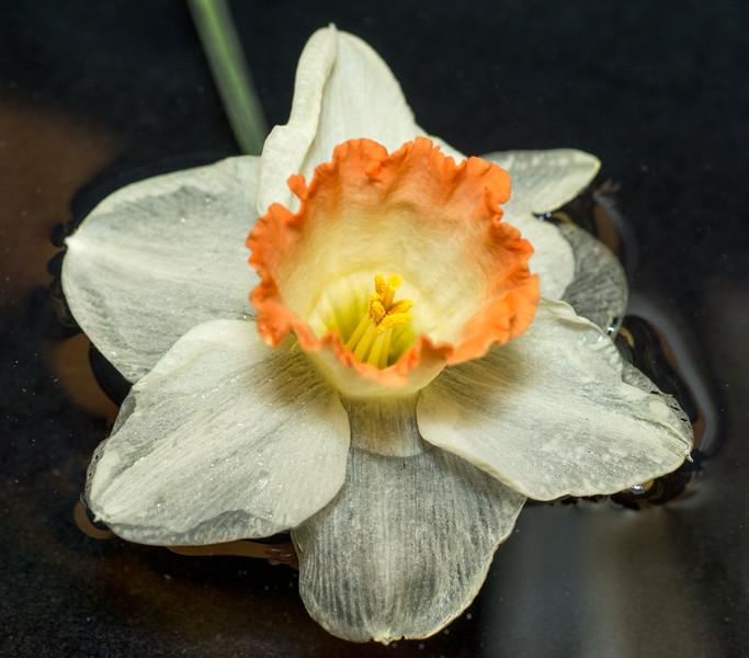 Daffodil.floating_4007.gallery.jpg