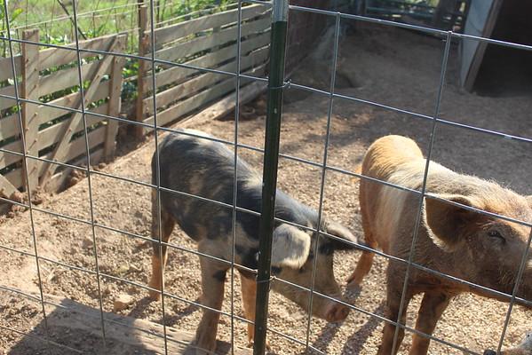 Pigs June 2016