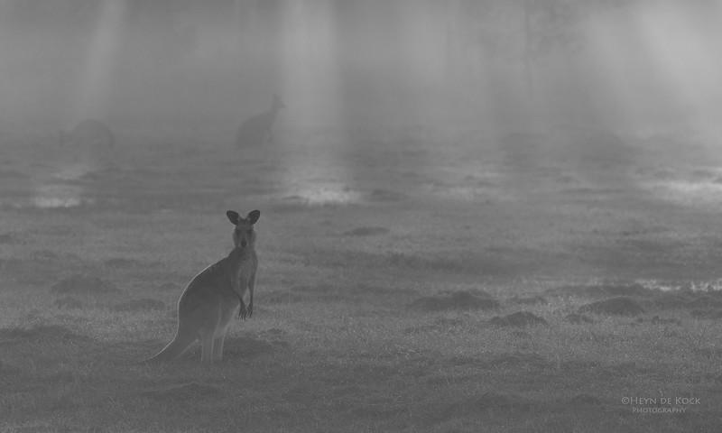 Eastern Grey Kangaroo, Coombabah Lakelands, QLD, Sept 2011-2.jpg