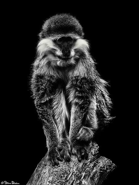 Griven Monkey v2 FSS.jpg