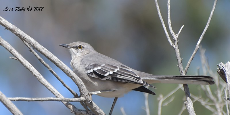 Northern Mockingbird - 10/01/2017 - Del Mar Public Works