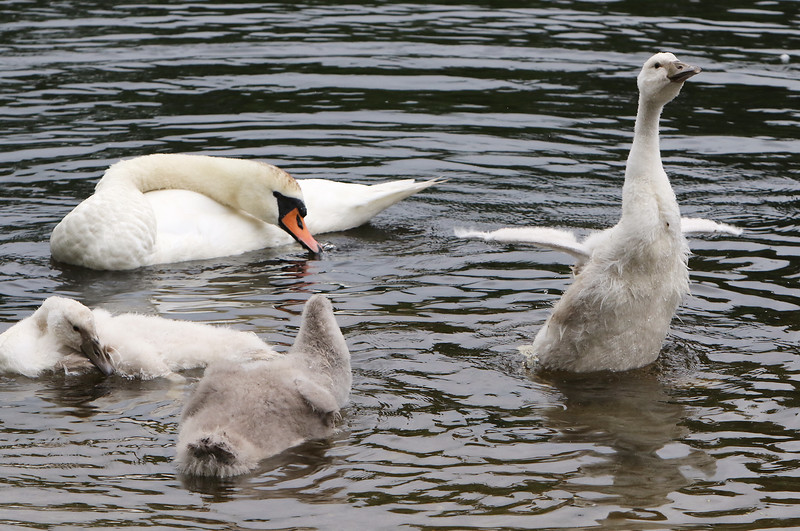"""A family of mute swans cleans off after feeding on Beaver Brook in Westford.  Adults have orange bills with black knobs. Young mute swans (cygnets) come in two color morphs, grey (""""Royal"""") and white (""""Polish""""). (SUN/Julia Malakie)"""