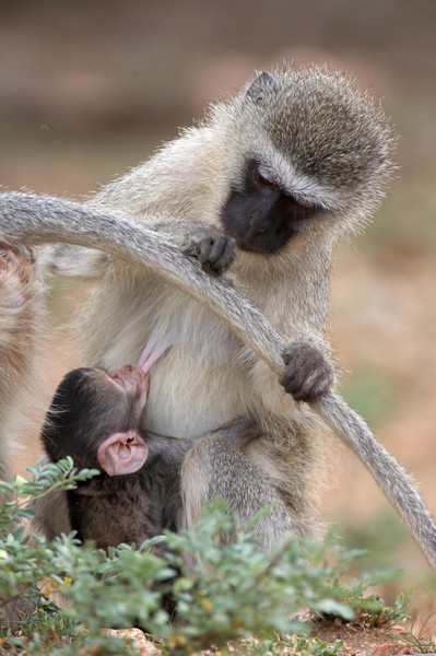 Vervet Monkey - 2774.jpg