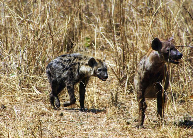 SPOTTED HYENA - SOUTH LUANGWA PARK, ZAMBIA