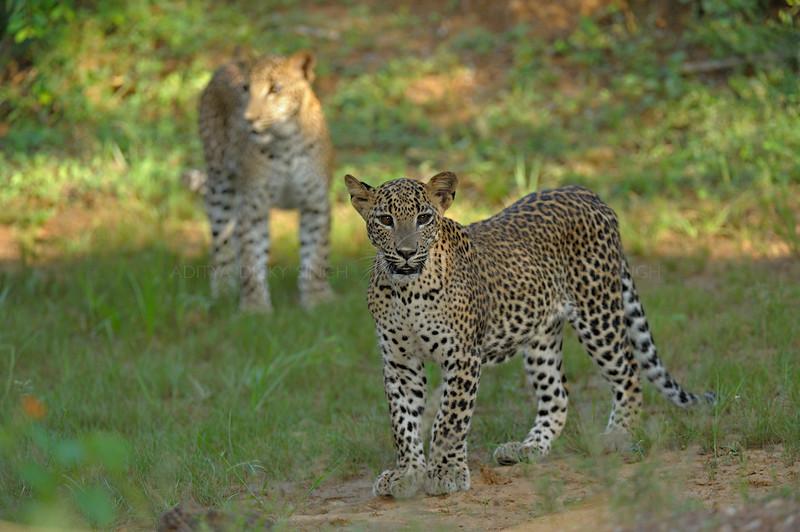 Two Leopards in Yala national park, Sri Lanka
