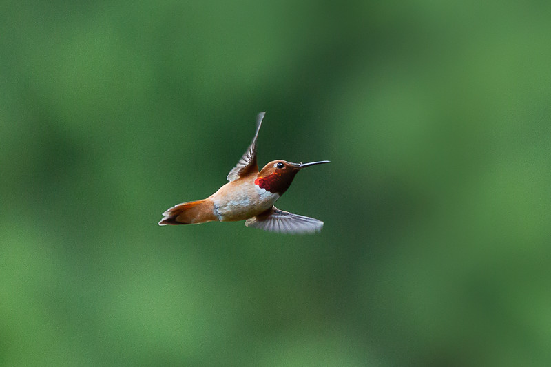 humming bird (37 of 55).jpg