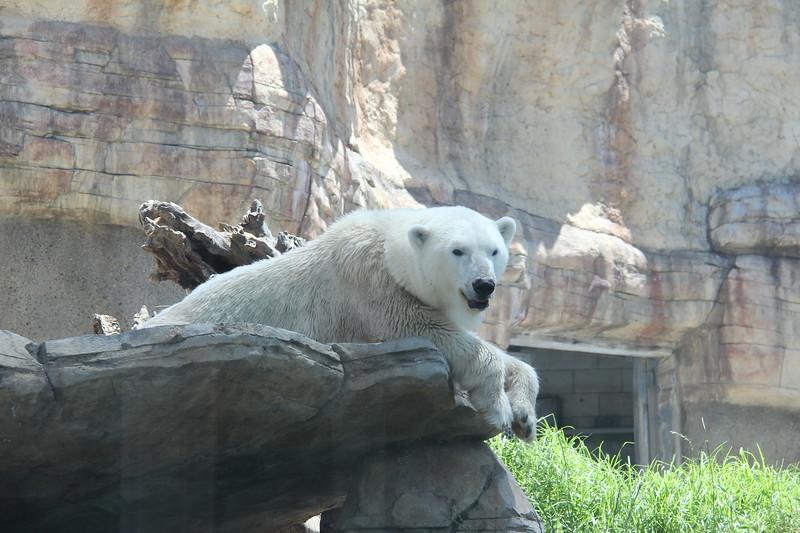 20170807-114 - San Diego Zoo - Polar Bear.JPG