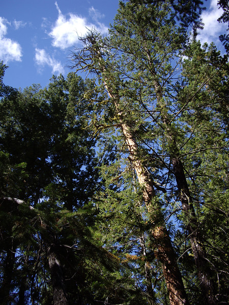 Day 1: view of the Ponderosa Pine.