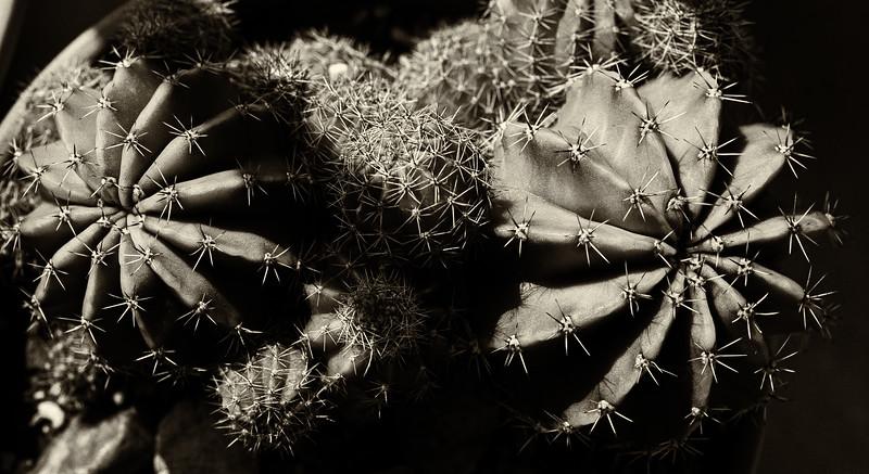 Cacti--2.jpg