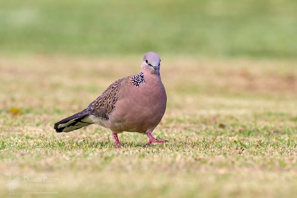 Spotted Dove INT