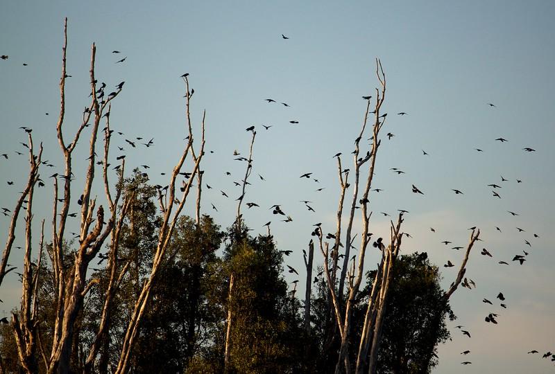blackbirds fly