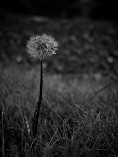 24 May 2010: A heavily processed dandelion