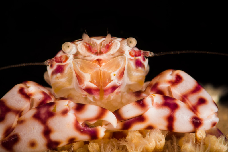 Soft Coral Porcelain Crab (with eggs), grows to 1cm