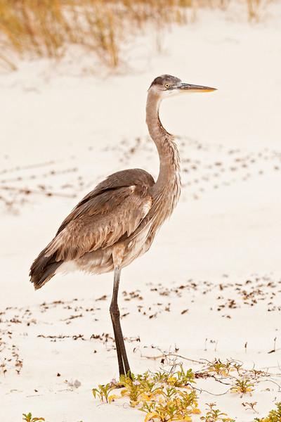 Heron - Great Blue - juvenile - St. George Island State Park, FL - 01