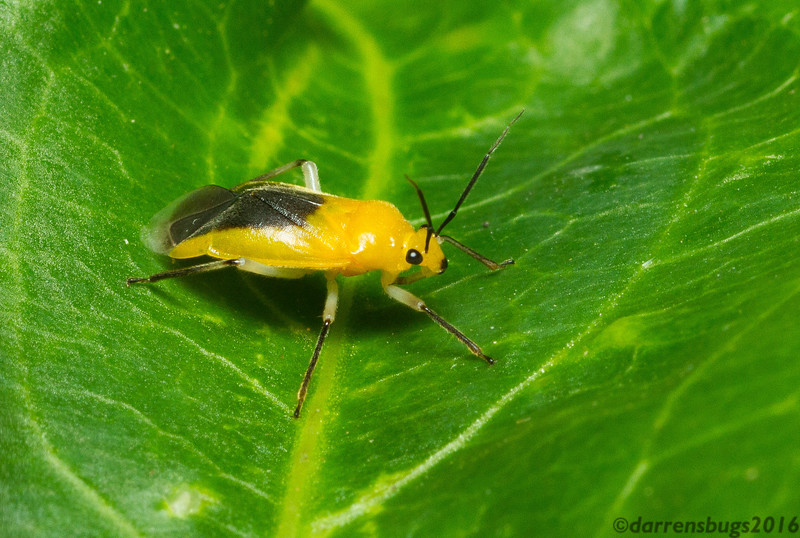 Brightly-colored plant bug (Miridae) from Monteverde, Costa Rica.
