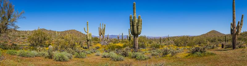 Sonoran Desert Panorama in Full Daylight