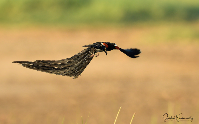 Long-tailed-widowbird-nakuru-flight-11.jpg