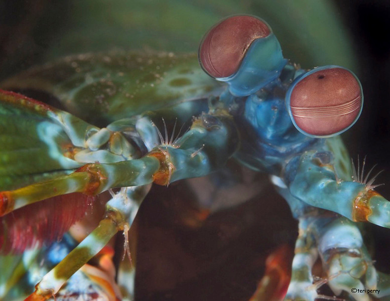 shrimp mantis (1).jpg